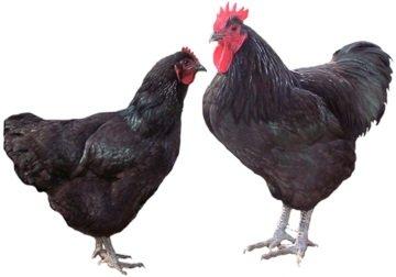 chicken breeds jersey giants
