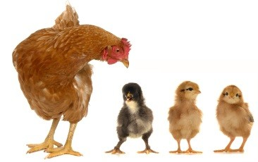 raising backyard chicks or hens