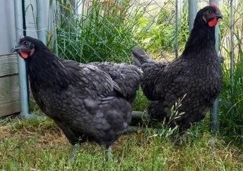 raising jersey giant backyard chickens