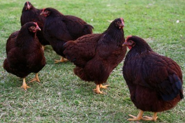 rhode island red breeds are the best backyard chickens for meat and eggs